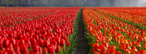 Chaque tulipe un pas contre le cancer